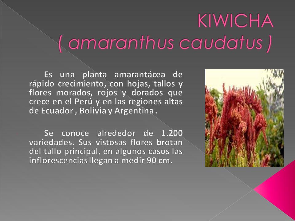 KIWICHA ( amaranthus caudatus )