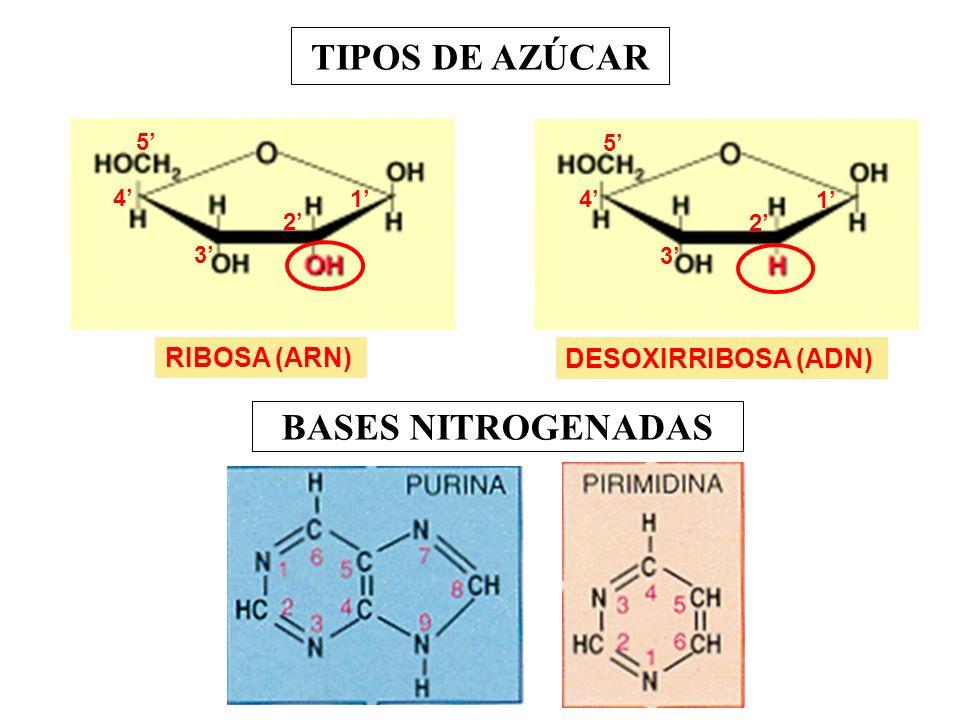 TIPOS DE AZÚCAR BASES NITROGENADAS