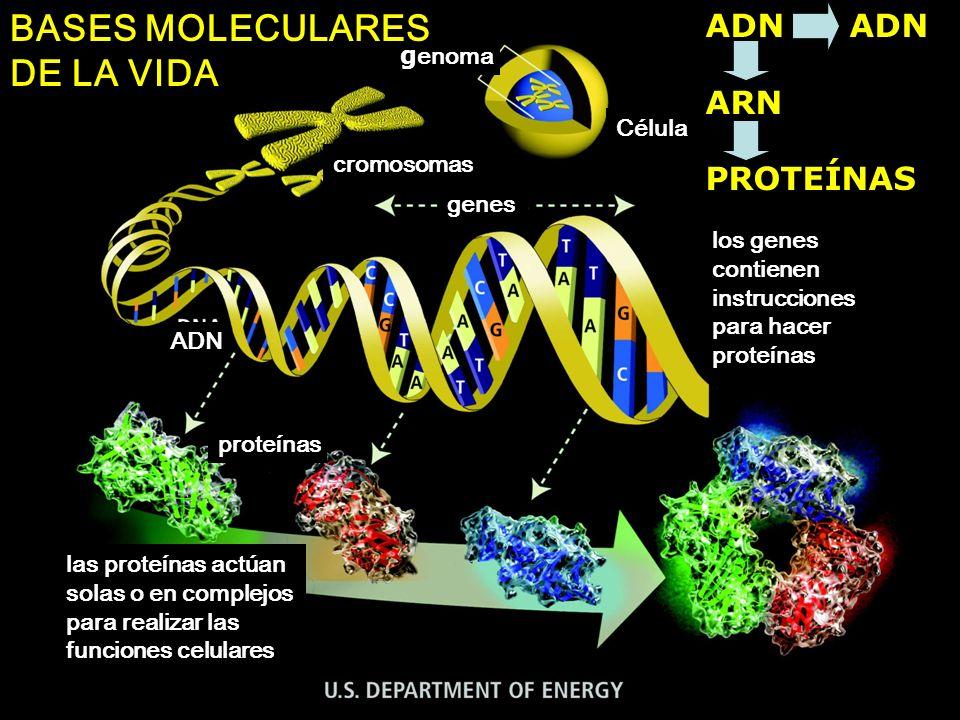 BASES MOLECULARES DE LA VIDA ADN ADN ARN PROTEÍNAS genoma Célula