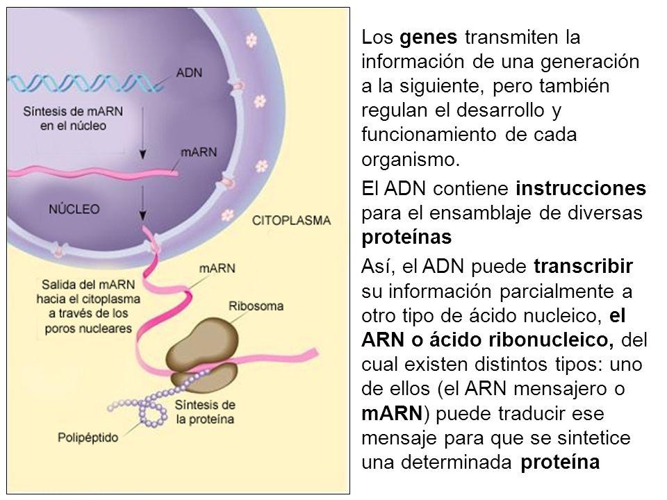 Los genes transmiten la información de una generación a la siguiente, pero también regulan el desarrollo y funcionamiento de cada organismo.