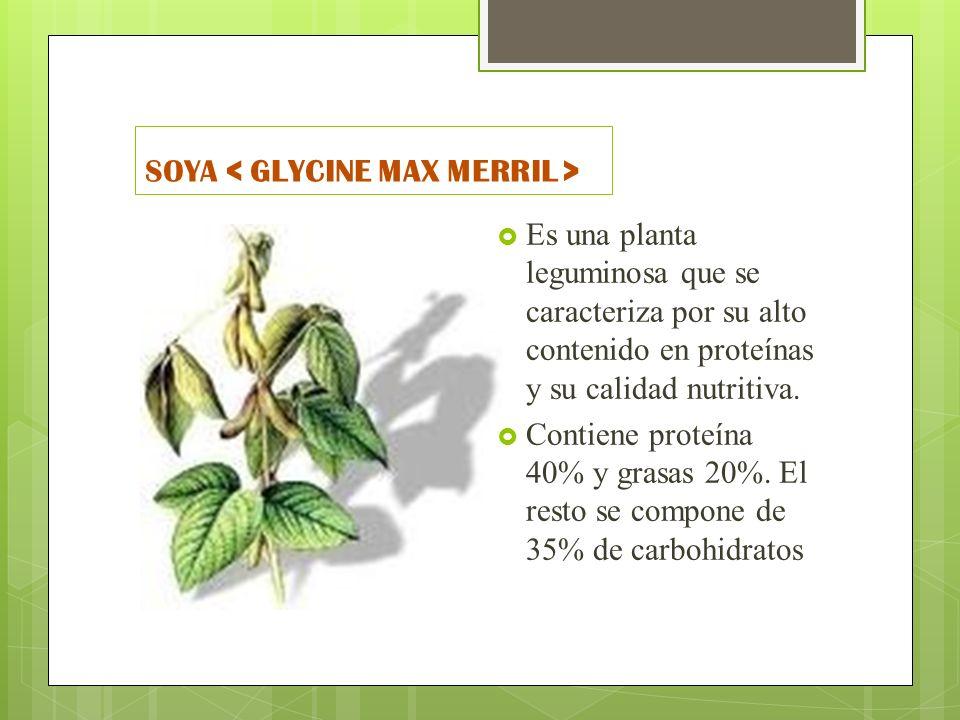 SOYA < GLYCINE MAX MERRIL >