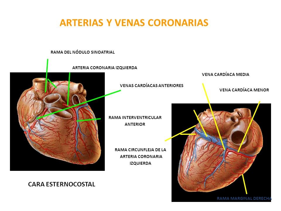 ARTERIAS Y VENAS CORONARIAS