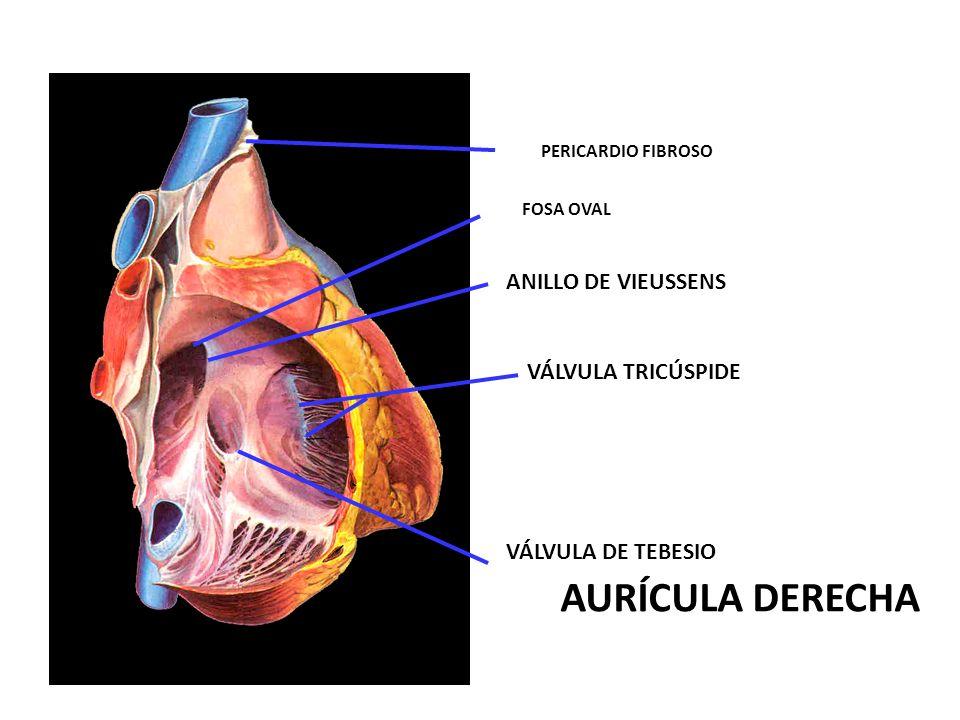 AURÍCULA DERECHA ANILLO DE VIEUSSENS VÁLVULA TRICÚSPIDE