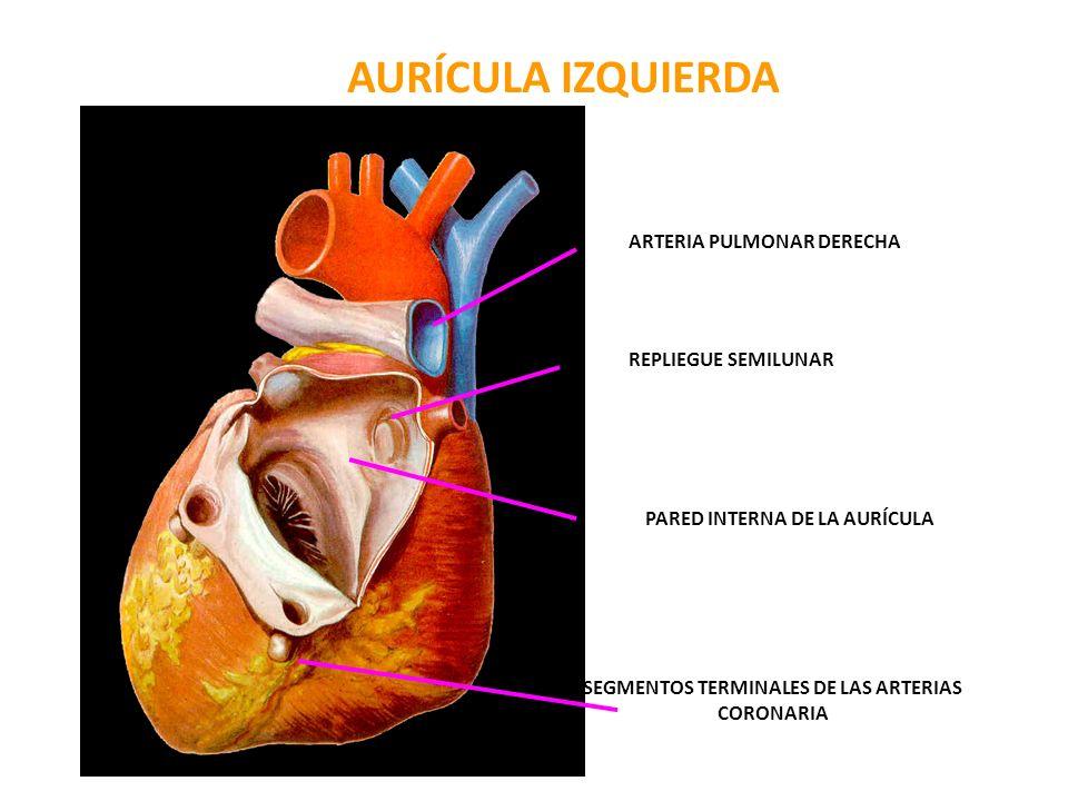 AURÍCULA IZQUIERDA ARTERIA PULMONAR DERECHA REPLIEGUE SEMILUNAR