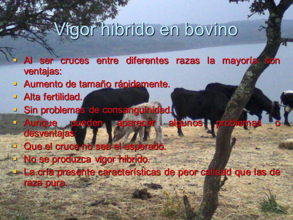 Vigor hibrido en bovino