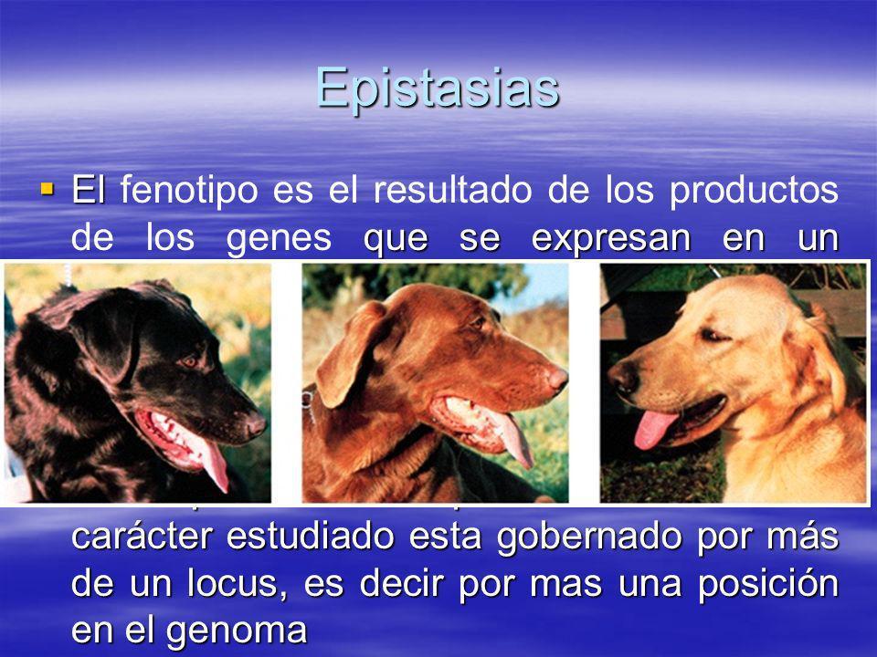 Epistasias El fenotipo es el resultado de los productos de los genes que se expresan en un ambiente dado.