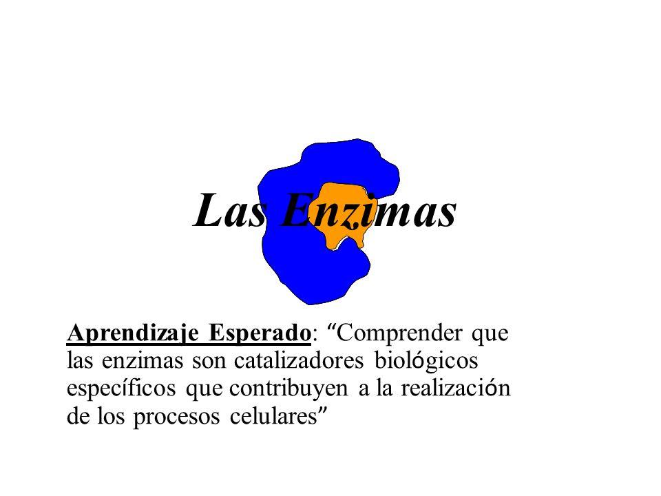 Las Enzimas