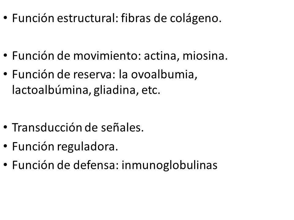 Función estructural: fibras de colágeno.