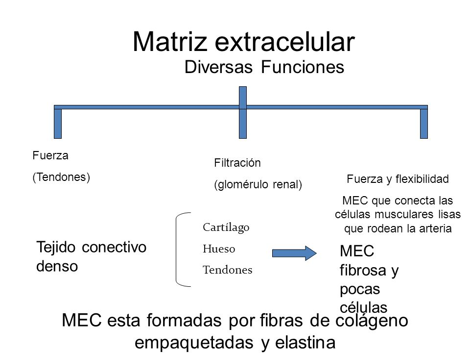 Matriz extracelular Diversas Funciones