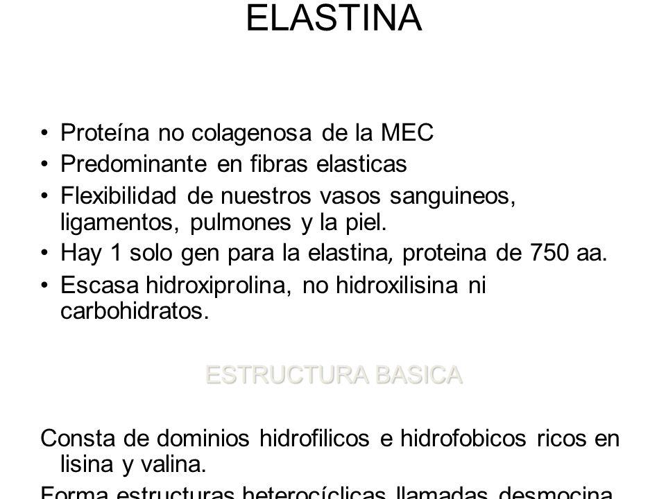 ELASTINA Proteína no colagenosa de la MEC