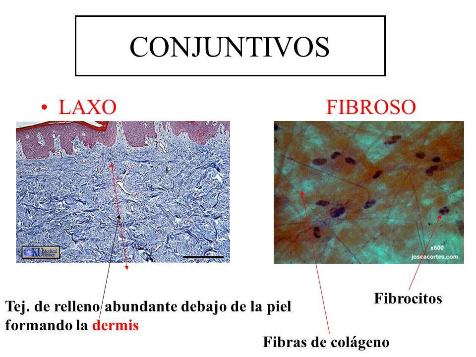 CONJUNTIVOS LAXO FIBROSO Fibrocitos