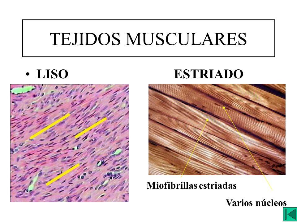 TEJIDOS MUSCULARES LISO ESTRIADO Miofibrillas estriadas Varios núcleos
