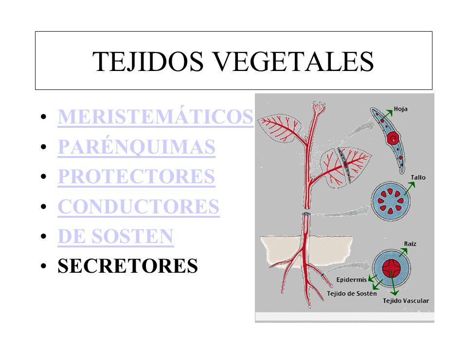 TEJIDOS VEGETALES MERISTEMÁTICOS PARÉNQUIMAS PROTECTORES CONDUCTORES