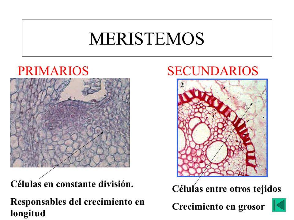 MERISTEMOS PRIMARIOS SECUNDARIOS Células en constante división.