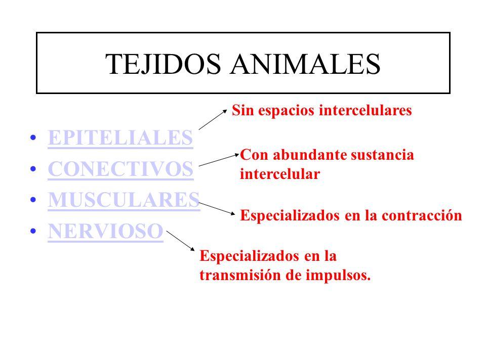 TEJIDOS ANIMALES EPITELIALES CONECTIVOS MUSCULARES NERVIOSO