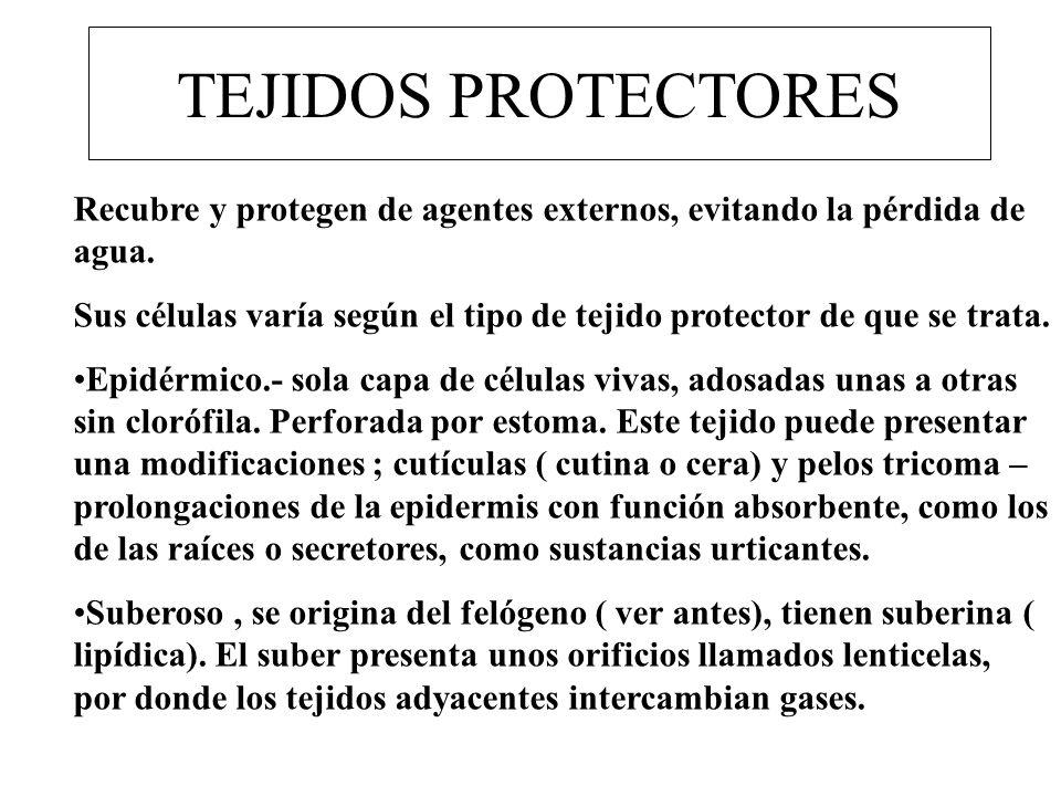 TEJIDOS PROTECTORES Recubre y protegen de agentes externos, evitando la pérdida de agua.