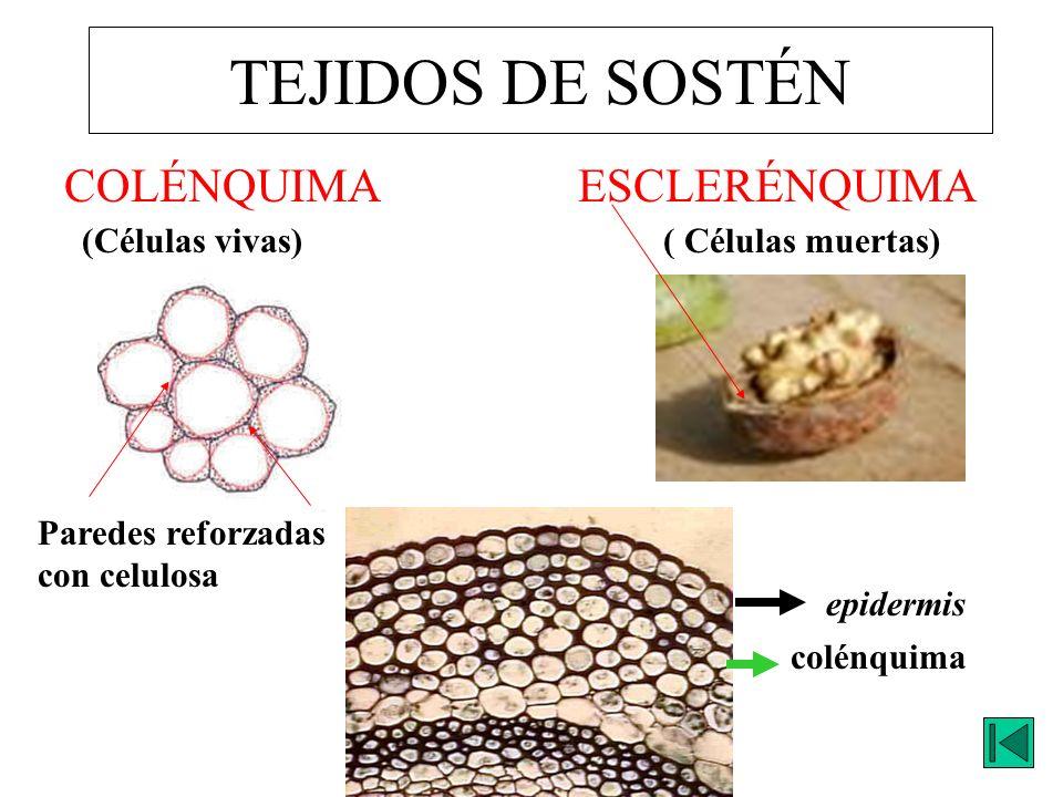 TEJIDOS DE SOSTÉN COLÉNQUIMA ESCLERÉNQUIMA (Células vivas)