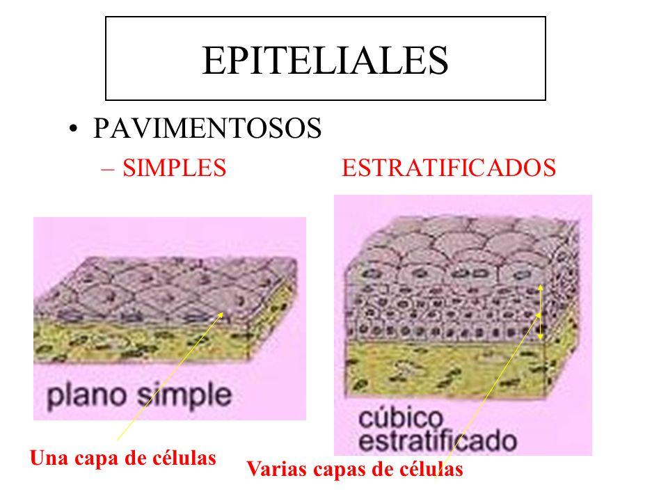 EPITELIALES PAVIMENTOSOS SIMPLES ESTRATIFICADOS Una capa de células