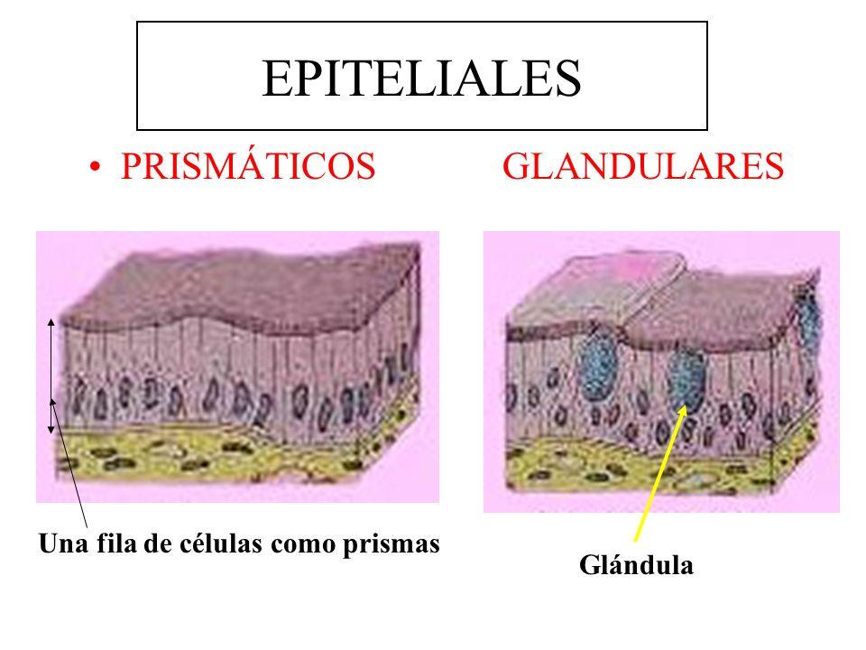 EPITELIALES PRISMÁTICOS GLANDULARES Una fila de células como prismas