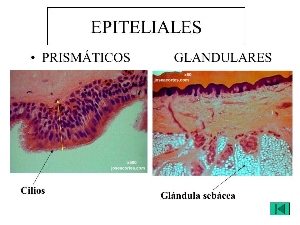 EPITELIALES PRISMÁTICOS GLANDULARES Cilios Glándula sebácea