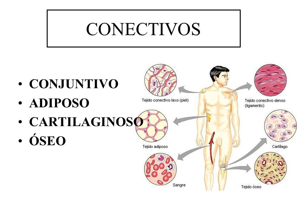CONECTIVOS CONJUNTIVO ADIPOSO CARTILAGINOSO ÓSEO