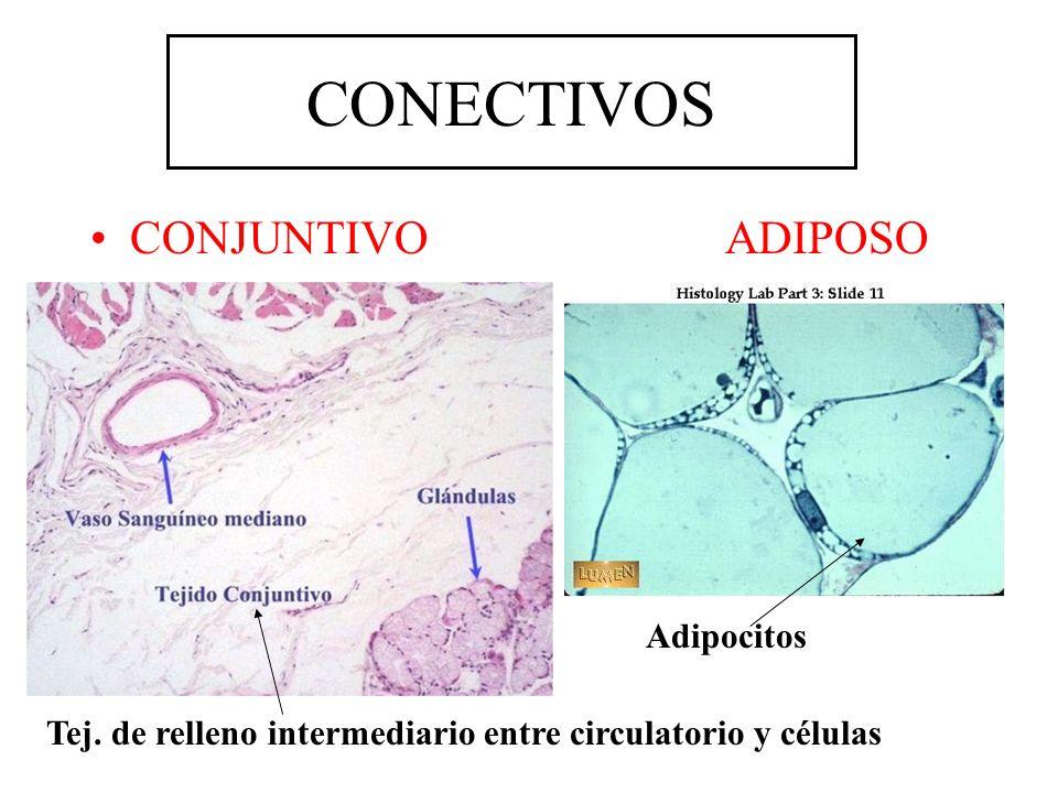 CONECTIVOS CONJUNTIVO ADIPOSO Adipocitos