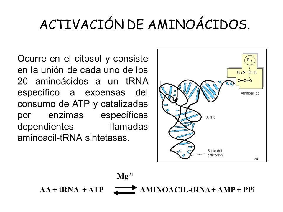 ACTIVACIÓN DE AMINOÁCIDOS.