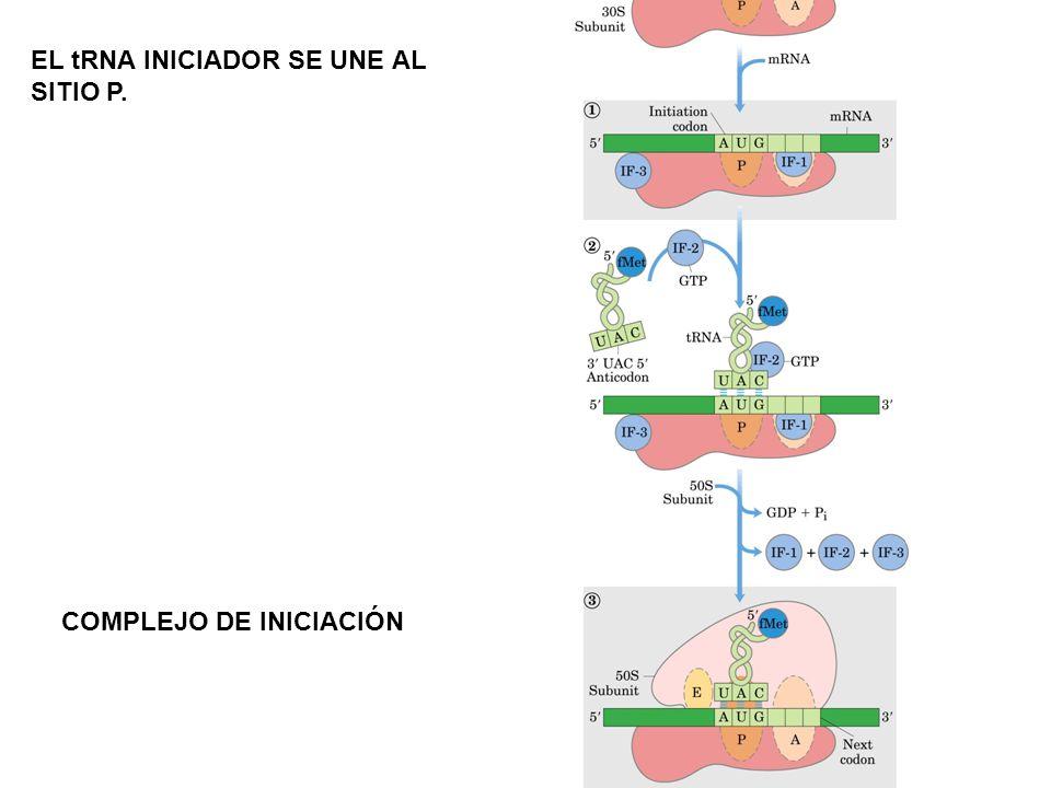 EL tRNA INICIADOR SE UNE AL