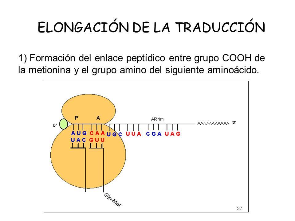 ELONGACIÓN DE LA TRADUCCIÓN
