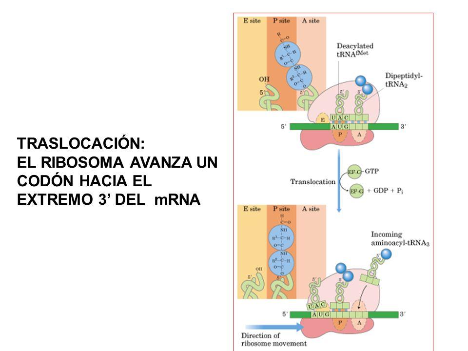TRASLOCACIÓN: EL RIBOSOMA AVANZA UN CODÓN HACIA EL EXTREMO 3' DEL mRNA