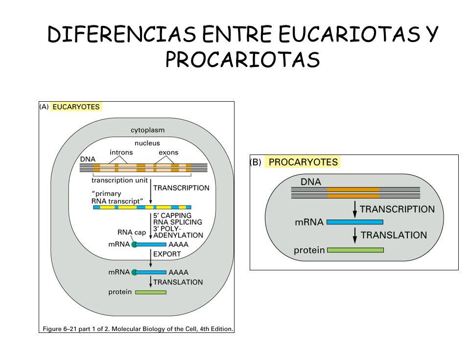 DIFERENCIAS ENTRE EUCARIOTAS Y PROCARIOTAS