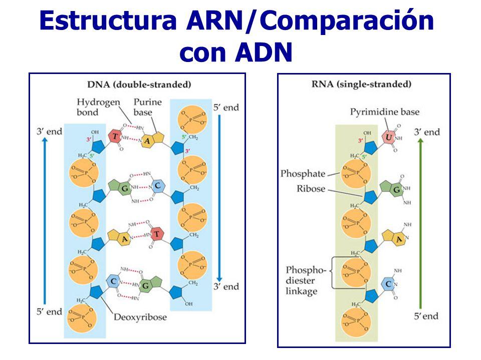 Estructura ARN/Comparación con ADN