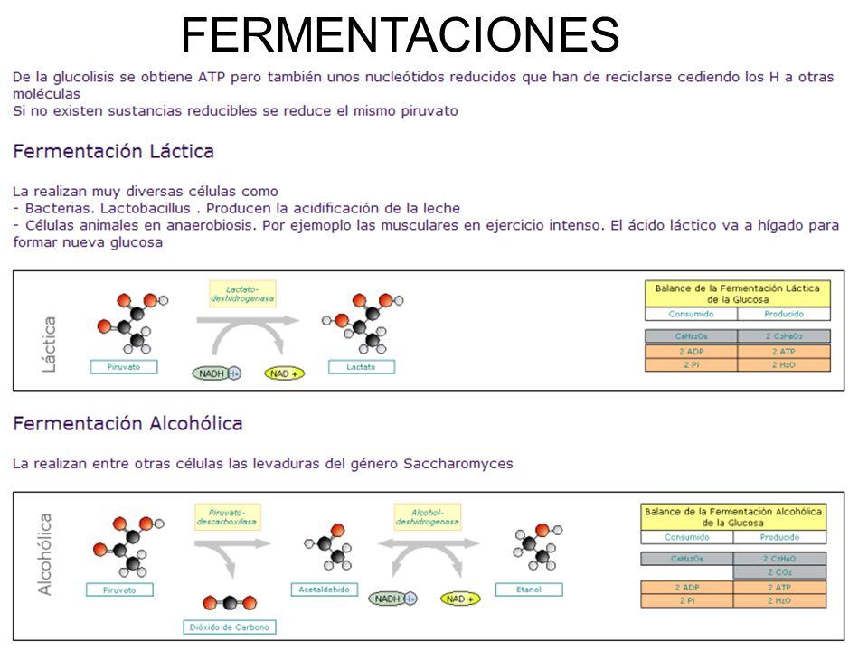 FERMENTACIONES 26