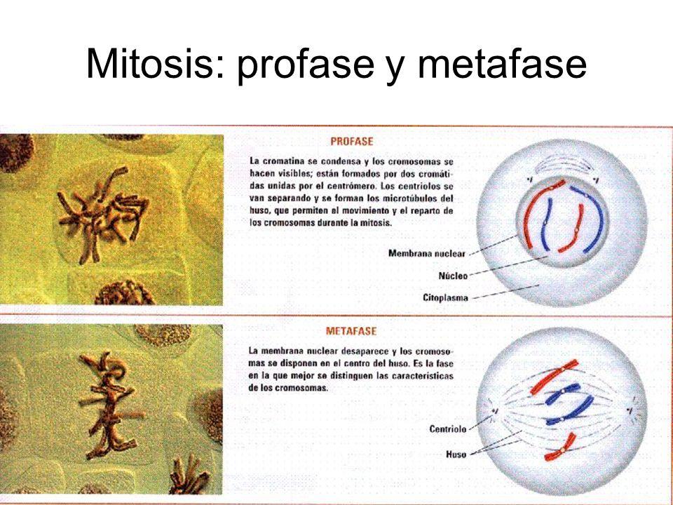 Mitosis: profase y metafase
