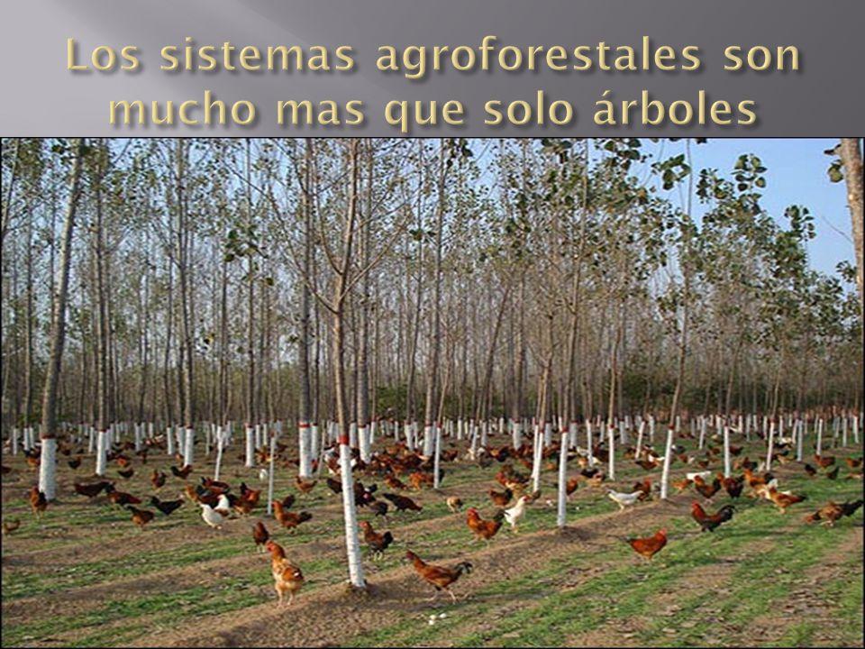 Los sistemas agroforestales son mucho mas que solo árboles