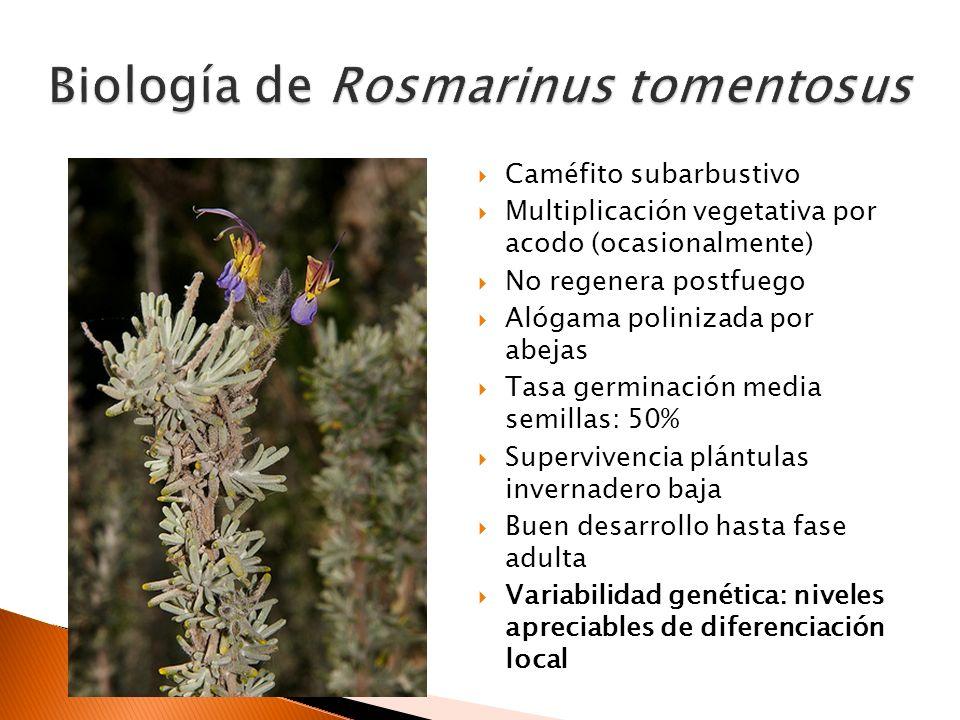 Biología de Rosmarinus tomentosus