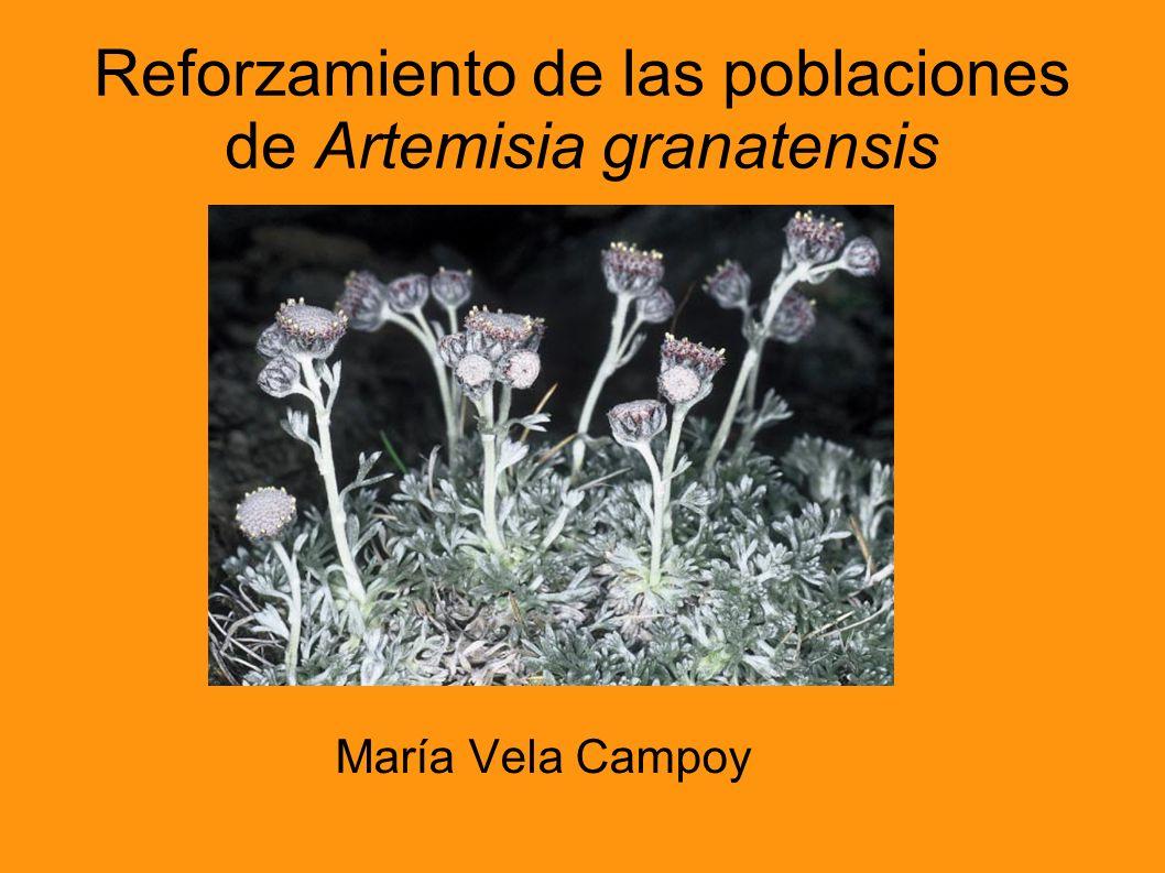 Reforzamiento de las poblaciones de Artemisia granatensis