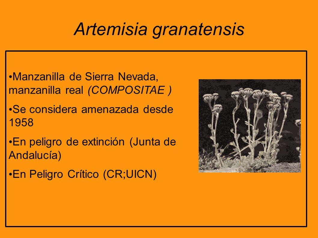 Artemisia granatensis