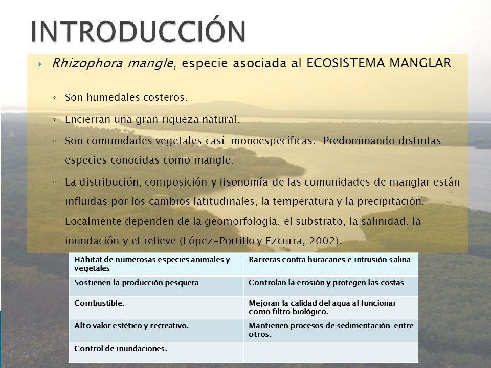 INTRODUCCIÓN Rhizophora mangle, especie asociada al ECOSISTEMA MANGLAR