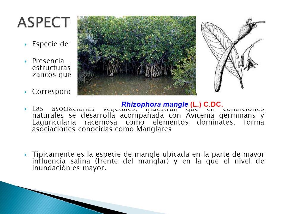 ASPECTOS ECOLÓGICOS Especie de fácil adaptación a sitios salinos y anegados.