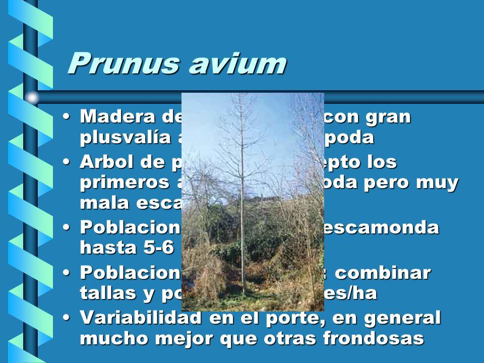 Prunus avium Madera de ebanisteria, con gran plusvalía a través de la poda.