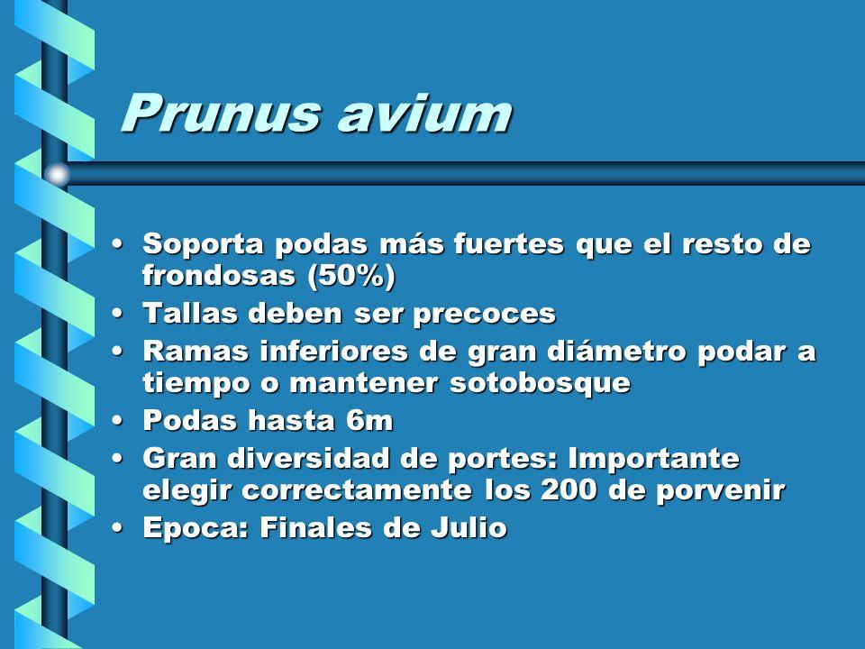 Prunus avium Soporta podas más fuertes que el resto de frondosas (50%)