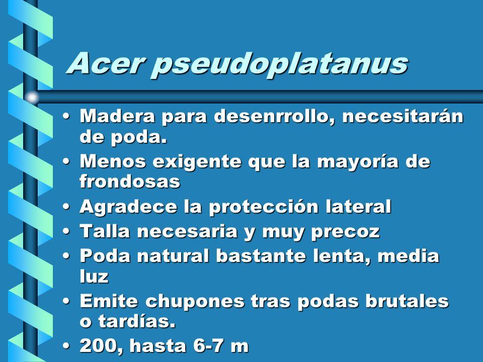 Acer pseudoplatanus Madera para desenrrollo, necesitarán de poda.