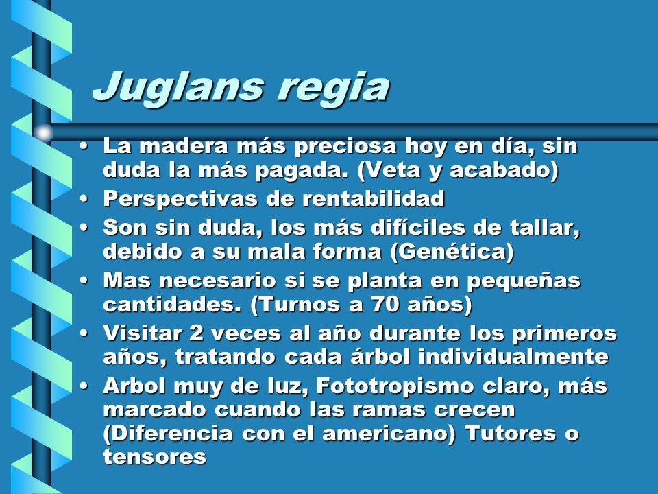Juglans regia La madera más preciosa hoy en día, sin duda la más pagada. (Veta y acabado) Perspectivas de rentabilidad.