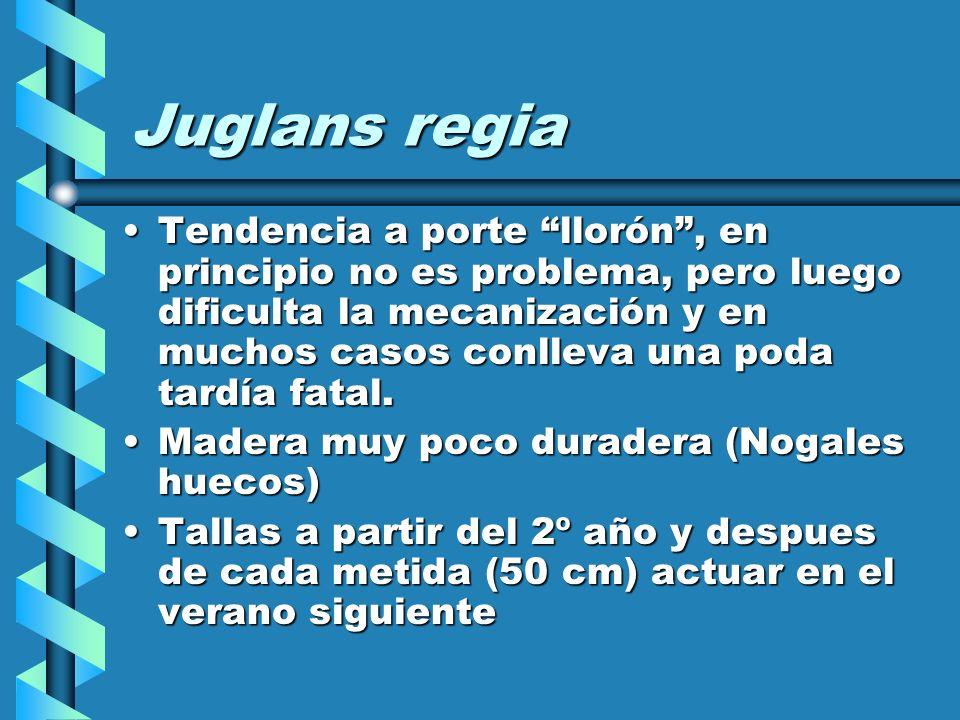 Juglans regia