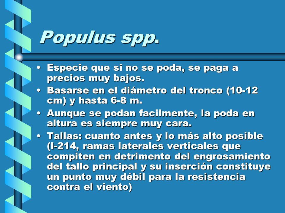 Populus spp. Especie que si no se poda, se paga a precios muy bajos.