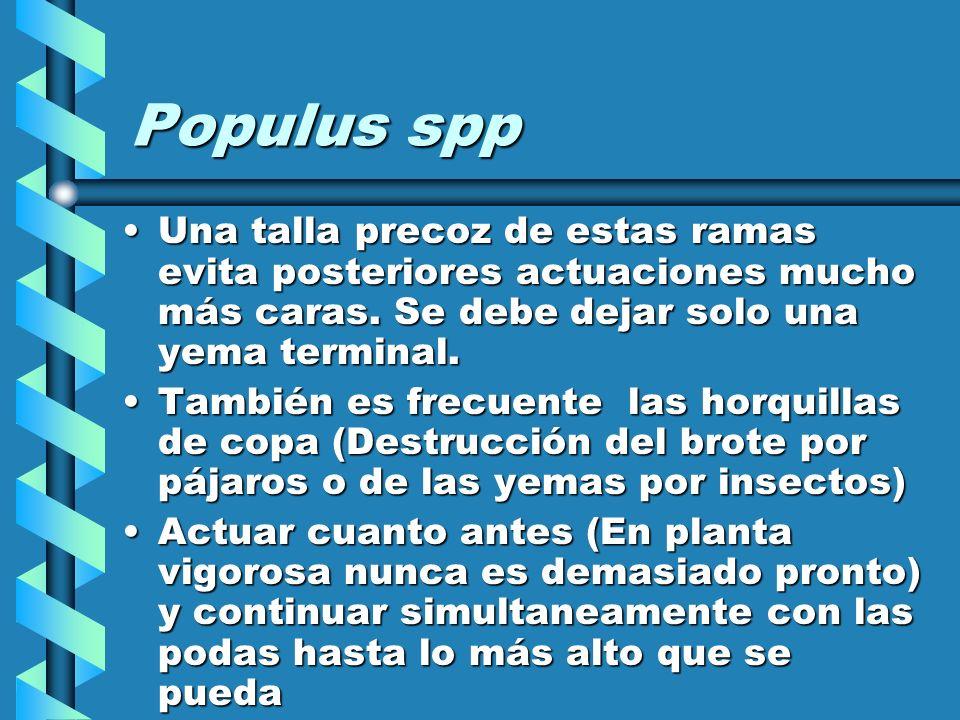 Populus spp Una talla precoz de estas ramas evita posteriores actuaciones mucho más caras. Se debe dejar solo una yema terminal.
