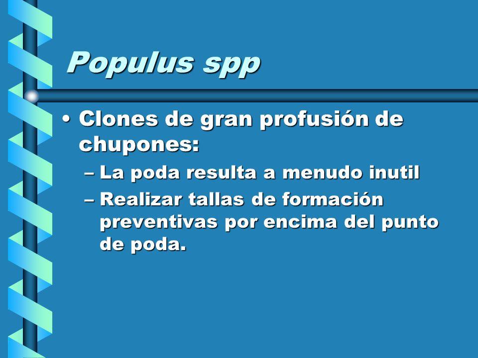 Populus spp Clones de gran profusión de chupones:
