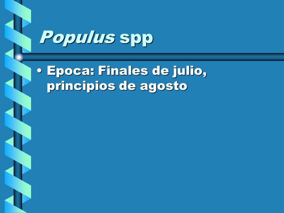 Populus spp Epoca: Finales de julio, principios de agosto