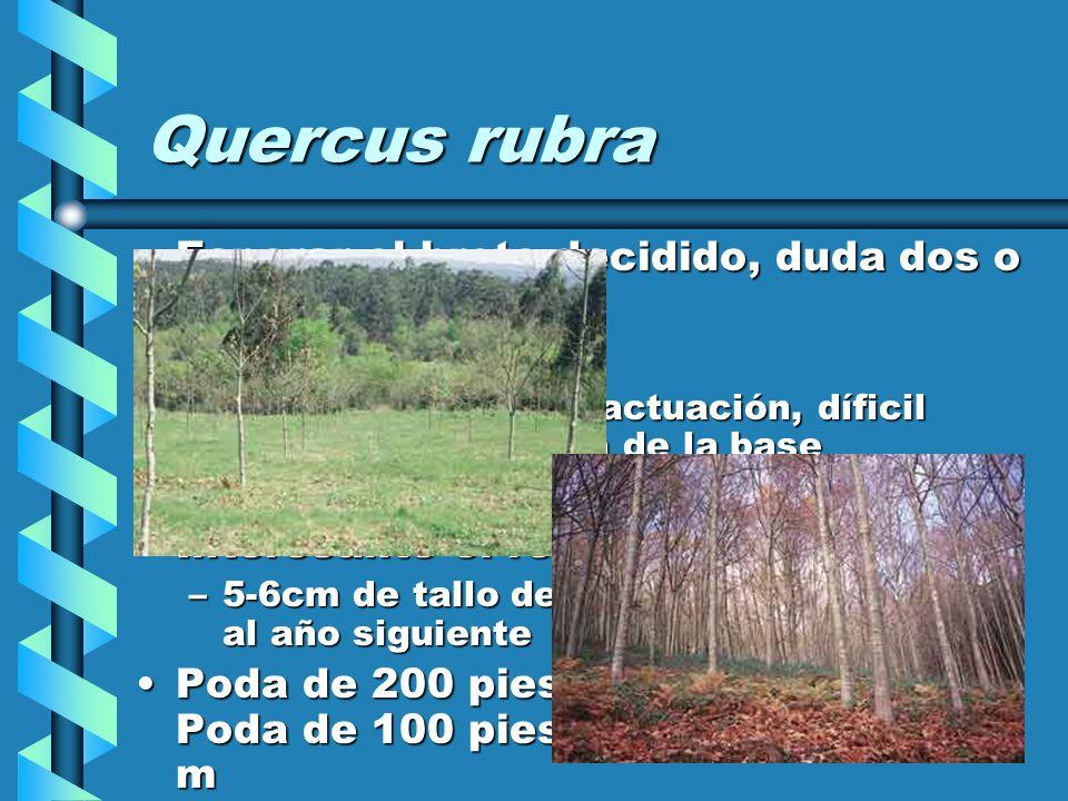 Quercus rubra Esperar el brote decidido, duda dos o tres años